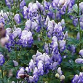 Aconitum arendsii 'Cloudy'