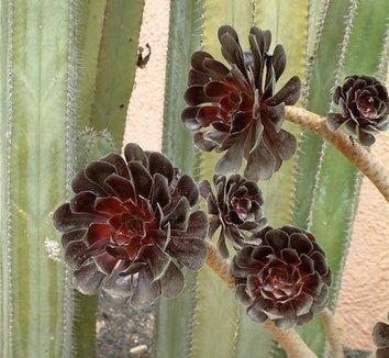 Aeonium 'Zwartkop' 1