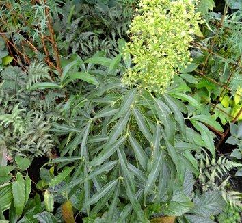 Metapanax delavayi 12 flower