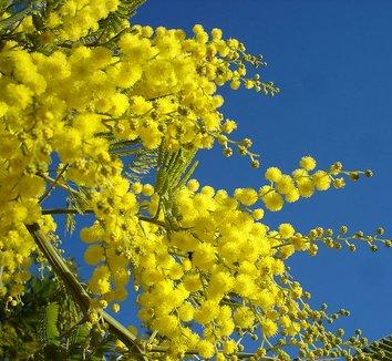 Acacia dealbata 8 flower