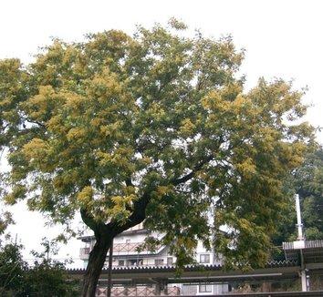Acacia dealbata 11 form