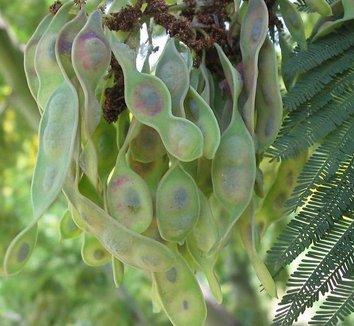 Acacia dealbata 6