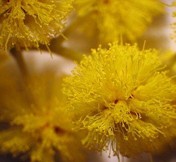 Acacia dealbata 4 flower