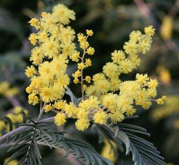 Acacia dealbata 3 flower