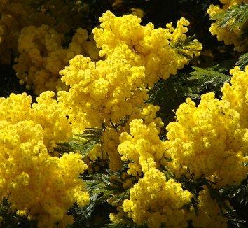 Acacia dealbata 2 flower