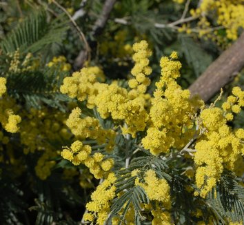 Acacia dealbata 12 flower