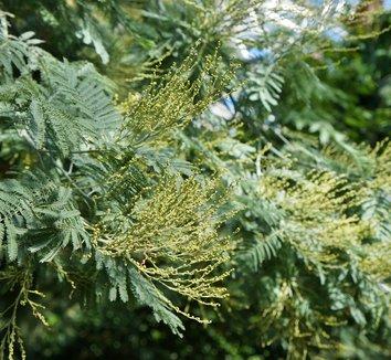 Acacia dealbata 17