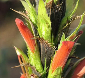 Acanthus sennii 2 flower