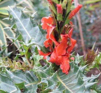 Acanthus sennii 1 flower