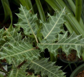 Acanthus sennii 3