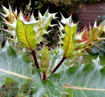Acanthus sennii 9