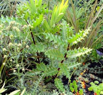 Acanthus sennii 12