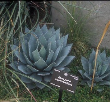 Agave neomexicana 2 form