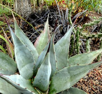 Agave neomexicana 13