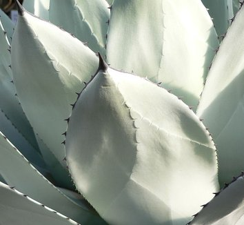 Agave parryi 4