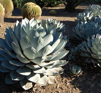 Agave parryi 6 form
