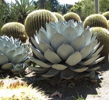 Agave parryi 1 form
