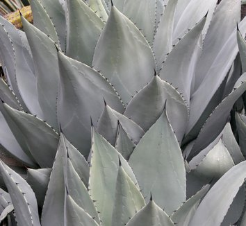 Agave parryi 10