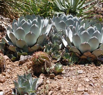 Agave parryi 12 form