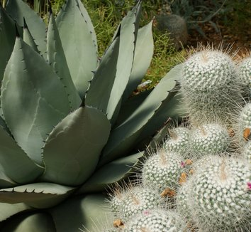Agave parryi 16