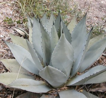 Agave parryi 24