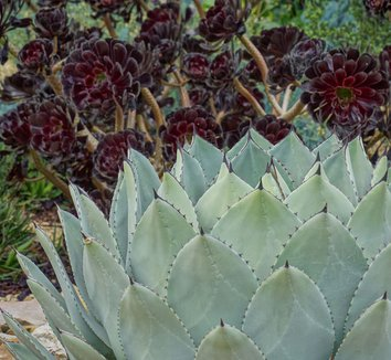 Agave parryi 27
