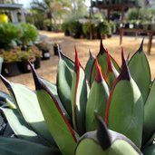 Agave 'Royal Spine'