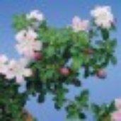 Serissa foetida 'Variegated Pink'