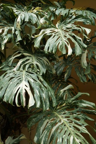 monstera deliciosa 39 variegata 39 swiss cheese plant. Black Bedroom Furniture Sets. Home Design Ideas