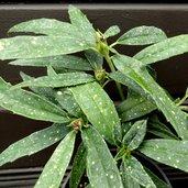 Aucuba himalaica var. dolichophylla