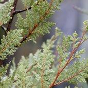Austrocedrus chilensis