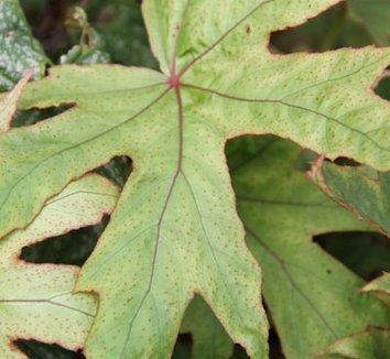 Begonia pedatifida 1
