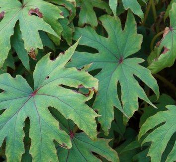 Begonia pedatifida 9