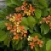 Bauhinia bidentata