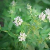 Pycnanthemum verticillatum var. pilosum
