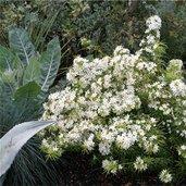 Choisya arizonica 'Whetstone'