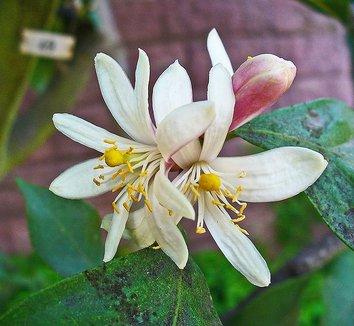 Citrus medica 4 flower