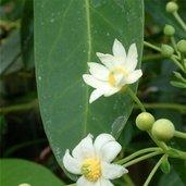 Drimys winteri var. chilensis