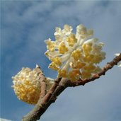 Edgeworthia chrysantha 'Nanjing Gold'