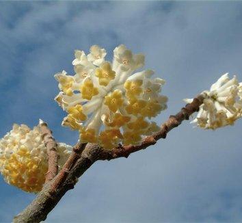 Edgeworthia chrysantha 'Nanjing Gold' 2 flower