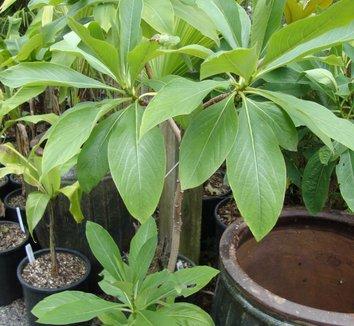 Edgeworthia chrysantha 'Nanjing Gold' 3 form