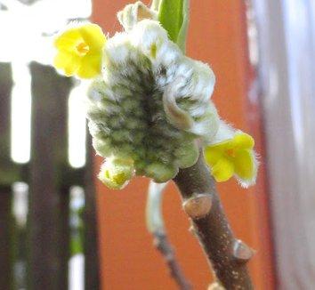 Edgeworthia chrysantha 'Nanjing Gold' 6 flower