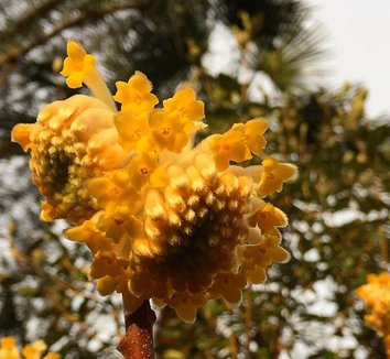 Edgeworthia chrysantha 'Nanjing Gold' 15 flower