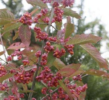 Euonymus europaeus 'Ace' 1 fruit