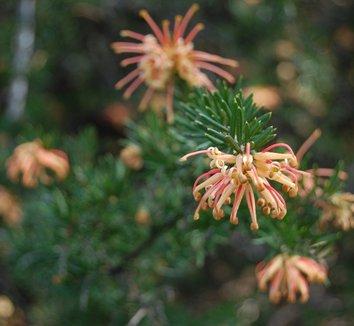Grevillea 'Poorinda Queen' 1 flower