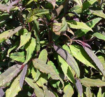 Helwingia chinensis 6