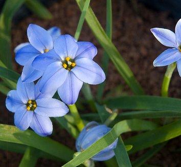 Ipheion 'Rolf Fiedler' 7 flower
