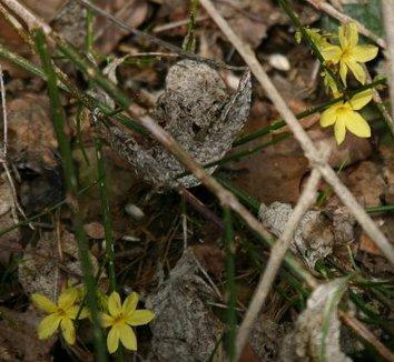 Jasminum nudiflorum 'Aureum' 1 flower