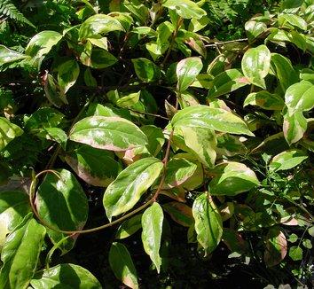 Kadsura japonica 'Variegata' 4