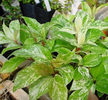 Kadsura japonica 'Variegata' 5